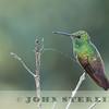 Beryline Hummingbird