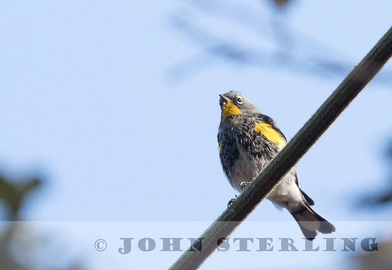 Black-fronted (Yellow-rumped) Warbler