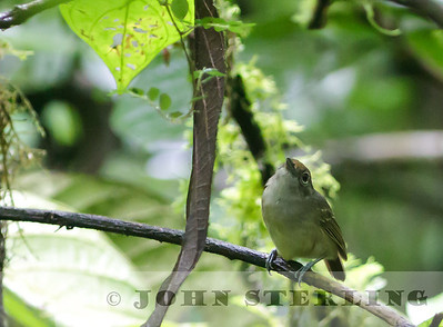 Plain Antvireo female