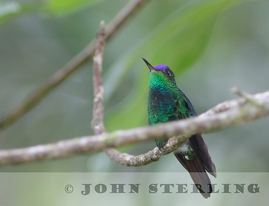 Violet-capped Hummingbird