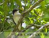 Loggerhead Kingbird, Puerto Rico subspecies