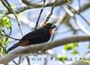 Puerto Rican Bullfinch
