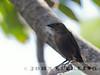 Shiny Cowbird female