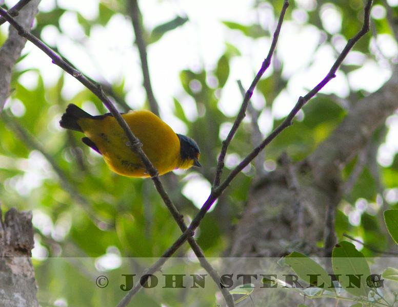 Antillean Euphonia