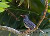 Puerto Rican Red-legged Thrush