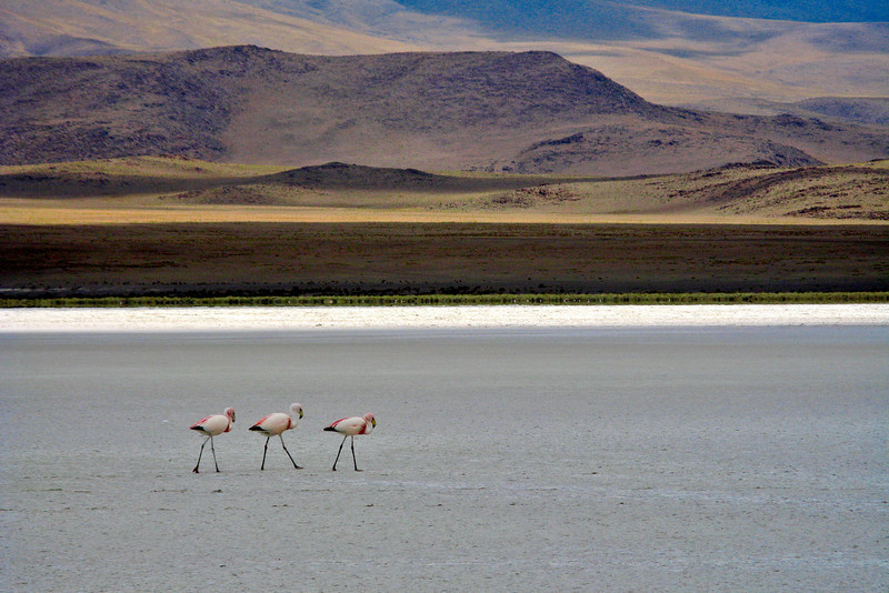 Flamingos at 4,000 m<br /> <br /> Most people think of flamingos as tropical birds that live in places like Miami. It turns out they are right at home in the freezing highlands of Bolivia as well.