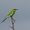 Blue – Tailed Bee – Eater (Merops Philippinus)