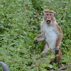 The toque macaque (Macaca sinica) is an Old World monkey. It is known as the rilewa or rilawa .