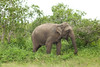 Short-tailed Elephant
