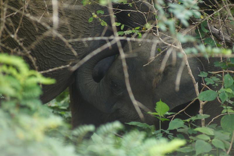 Baby Elephant Drinking Milk