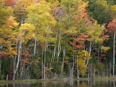 Birch trees at Council Lake