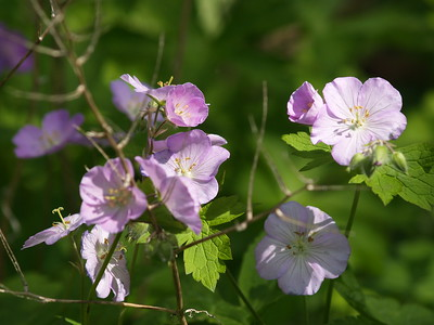 I believe these are called marsh mallows or swamp mallows. They are lovely lavendar-colored flowers rather ubiquitous in late spring.