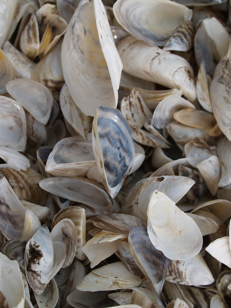 Zebra mussel shells.