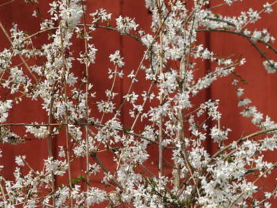 White wisteria against a red shed - Shoepfle Gardens, Lorain County Metroparks.