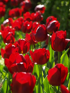 This gorgeous row of red tulips was an amazing site in the morning sun! (Spring 2008)