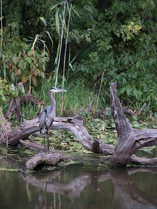 Blue heron - Sheldon Marsh.