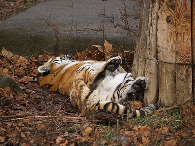 Showing belly fur! Sleeping bengal tiger at the Cleveland Zoo.