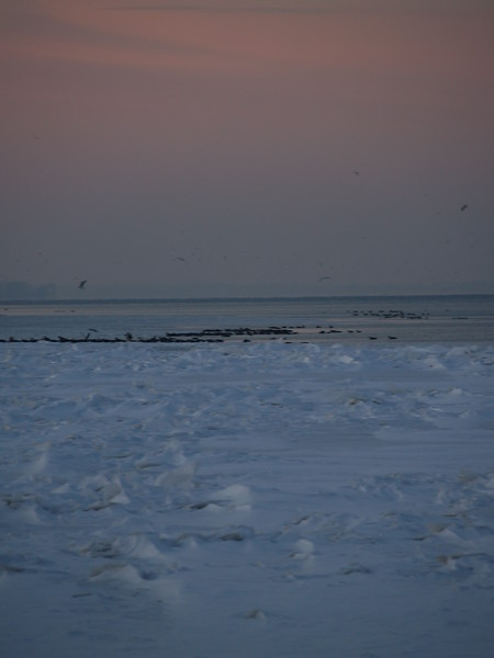 Canadian geese on the ice on Lake Erie in January (2010)