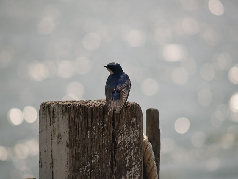Tree swallow on Gibralter Island