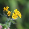 Common Fiddleneck
