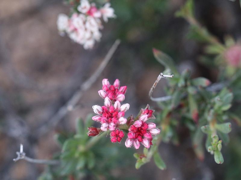Eastern Mojave Buckwheat