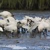 Snowy egrets & wood storks