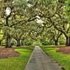 Oaks Trees