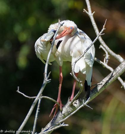 Birds of South Caro;ina