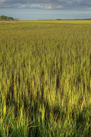 A large field of sweetgrass at Botany Bay Plantation Heritage Preserve and Wildlife Management Area in Edisto Beach, SC on Friday, August 29, 2014. Copyright 2014 Jason Barnette