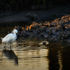 Egret on the creek