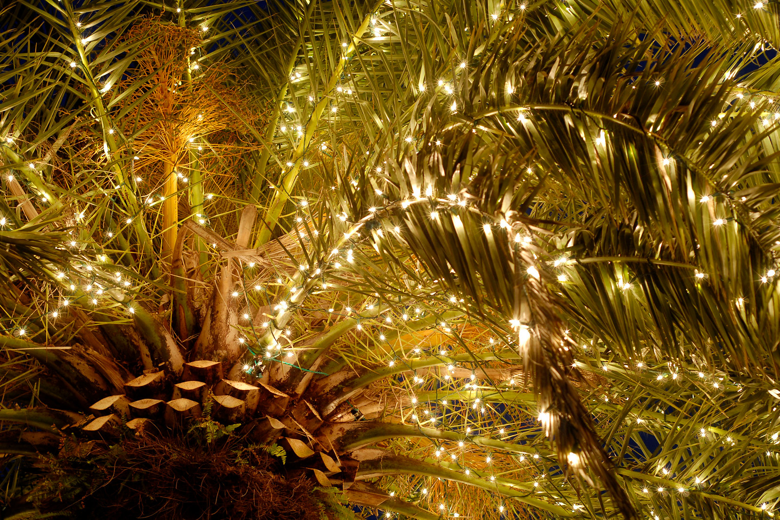 A palm tree is decorated with lights in Marion Square in Downtown Charleston, South Carolina on Friday, December 10, 2010. Photo Copyright 2010 Jason Barnette
