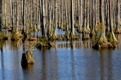A single stump stands out among dozens of trees in Lake Juniper in Cheraw State Park, a 7,300-acre park featuring camping, hiking, golf, and a beautiful lake, in Cheraw, South Carolina on Friday, March 4, 2011. Photo Copyright 2011 Jason Barnette