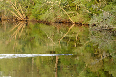 A large wake left behind a fast swimming alligator in the Waccamaw River near the Riverwalk in Conway, SC on Wednesday, April 8, 2015. Copyright 2015 Jason Barnette