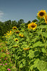 Tall sunflowers growing at the L.W. Paul Living History Farm in Conway, SC on Tuesday, July 15, 2014. Copyright 2014 Jason Barnette  The L.W. Paul Living History Farm is a fairly unique, actual farm just fifteen minutes from downtown Conway. The farm is operated throughout the year by volunteers, students, and curious locals who want to see how farming was done around the turn of the 20th century. All equipment and tools used is period-specific and include farming, woodshop, and blacksmithing tools. People can visit this farm throughout the year, take a simple self-guided walking tour, or come out for one of the many annual events to help plant vegetables, harvest, or produce goods.