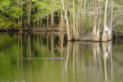 An alligator swims in the Waccamaw River near the Riverwalk in Conway, SC on Wednesday, April 8, 2015. Copyright 2015 Jason Barnette