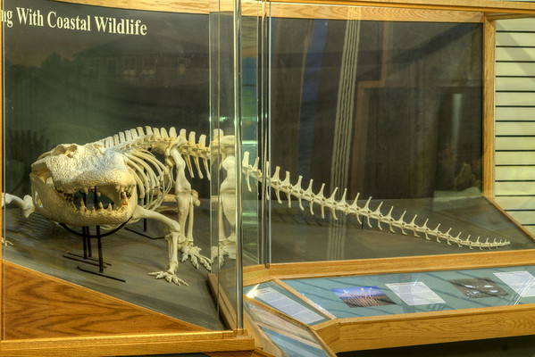 An alligator skeleton on display at the Environmental Learning Center in Edisto Beach State Park in Edisto Beach, SC on Friday, August 29, 2014. Copyright 2014 Jason Barnette