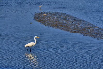 An egret walks through the shallow waters during low tide in Garden City Beach, SC on Wednesday, April 17, 2013. Copyright 2013 Jason Barnette
