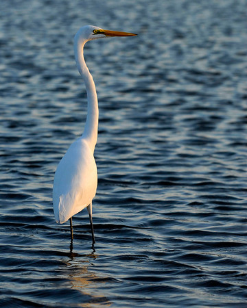 An egret walks through shallow waters in Garden City Beach, South Carolina on Monday, November 14, 2011. Copyright 2011 Jason Barnette