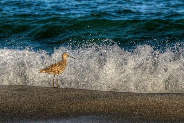 A small bird walks the beach near the waves in Garden City Beach, SC on Tuesday, April 17, 2012. Copyright 2012 Jason Barnette