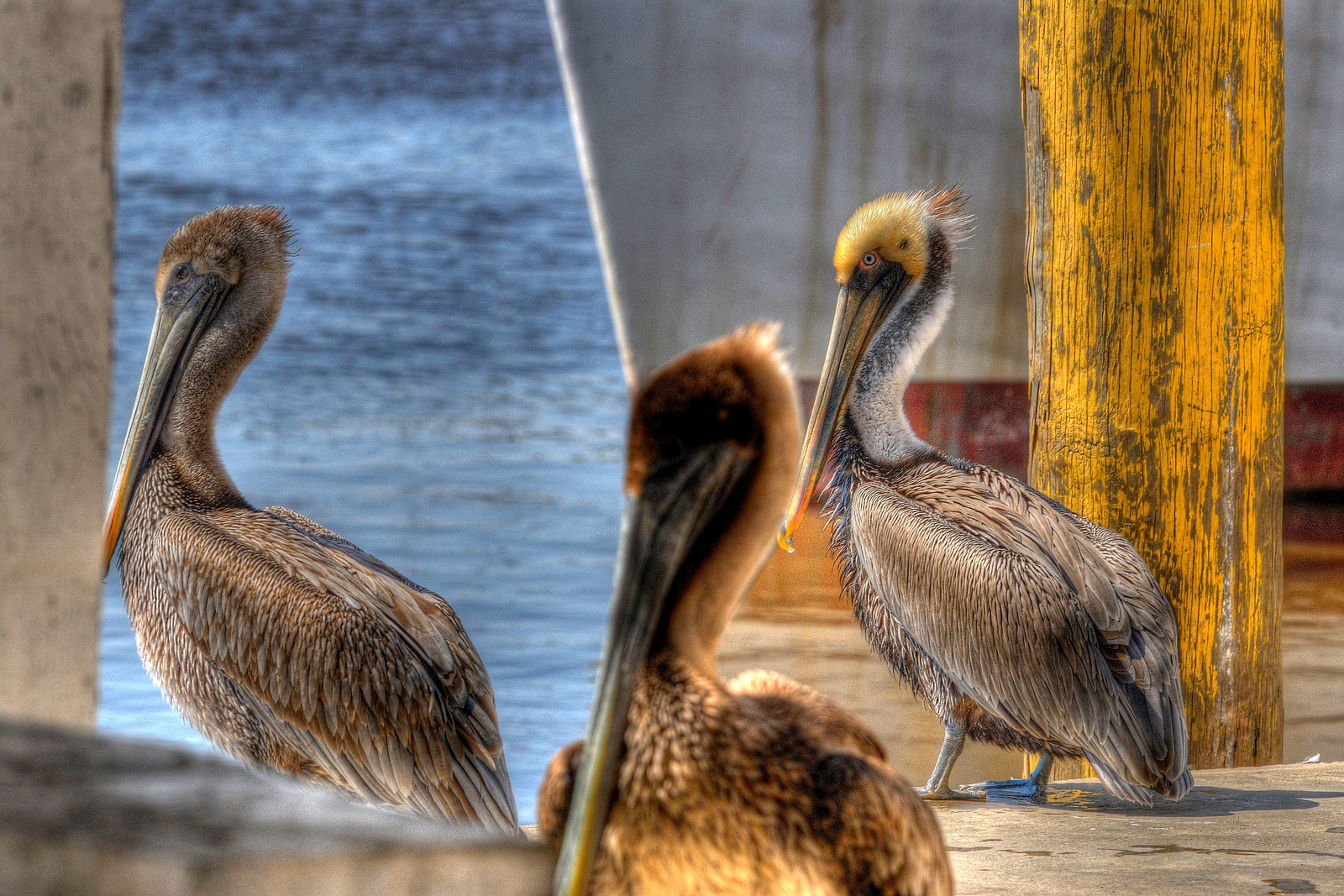 Pelicans wait on the loading dock at Independent Seafood, a fresh seafood warehouse, on the waterfront in Georgetown, SC on Saturday, March 10, 2012. Copyright 2012 Jason Barnette