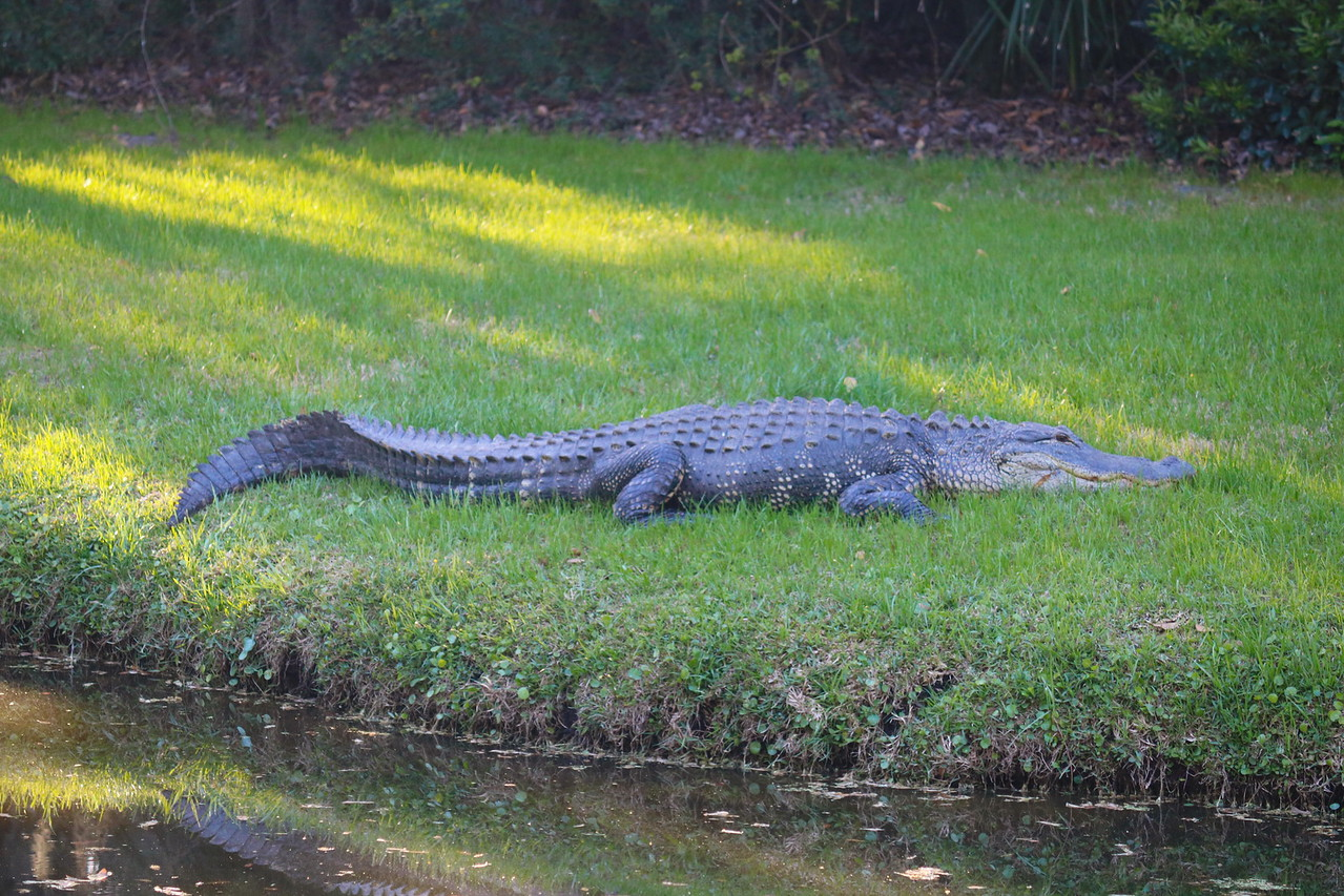 Alligator by a Pond