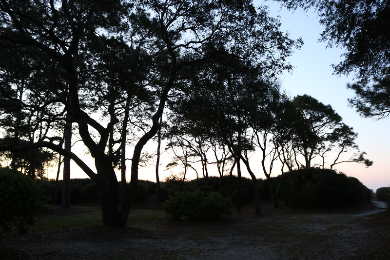 Sea Pine Trees at Dawn