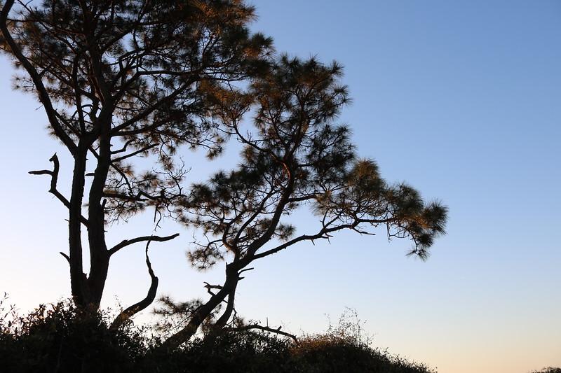 Sea Pine Tree