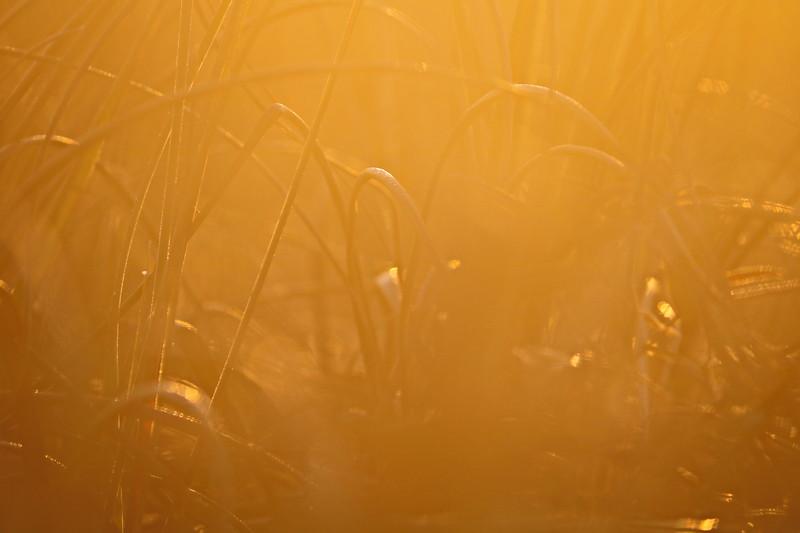 Golden Grasses at Sunrise