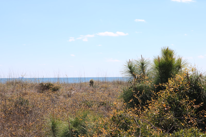 Vegetation on Coligny Beach Sand Dunes