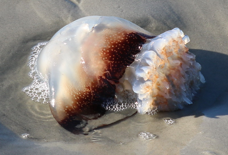 Jellyfish Stranded by Low Tide