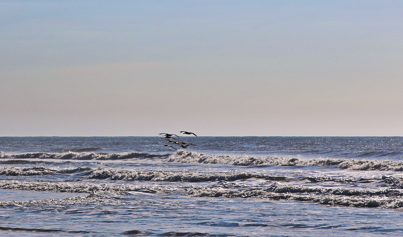 Pelicans Fly Towards the Shore