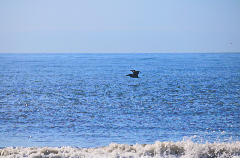 Pelican over the Ocean