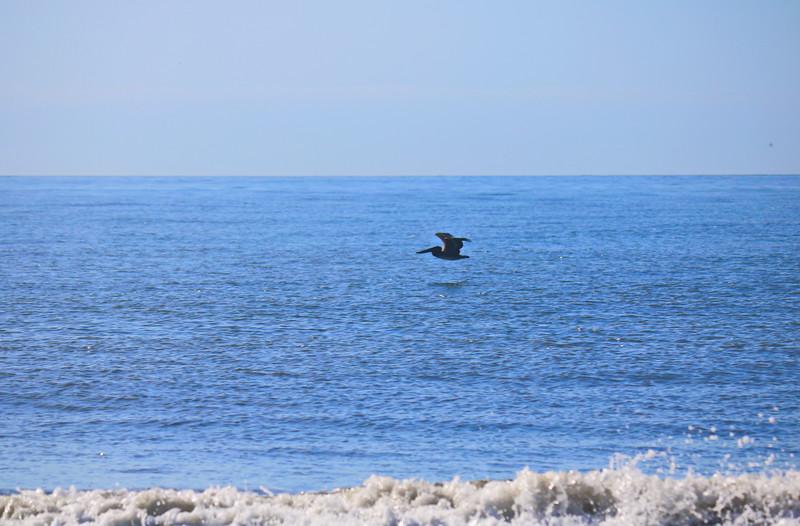 Pelican over the Ocean