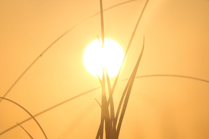 Dune Grass Silhouette at Sunrise